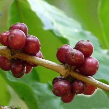 Coffee Excelsa
